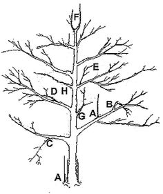 Are you confused about pruning fruit trees? It's really not that hard, but let's start with the easiest, most forgiving of all the fruit trees. Pear trees are generally easy to grow and maintain. Espalier Fruit Trees, Trees And Shrubs, Apple Tree Care, Pruning Plants, Prune Fruit, Pear Trees, Apple Pear, Greenhouse Gardening, Apple Tree Pruning