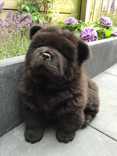 The Philosopher - Queen of Hearts van Tjeda 'Black' Betty - our Beautiful Black Pedigree Chow Chow puppy