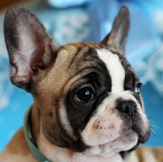♥♥♥ Fernie the French Bulldog FOR SALE! Rare & Stunning Blue/Fawn Pied Color! ♥♥♥ Call Now To Bring This Handsome Guy Home Today! 954-353-7864 See All My Beautiful Babies For Sale At:  www.TeacupPuppiesStore.com