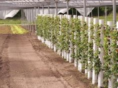 Strawberries growing vertically in a Large PVC pipe.lace them with a water hose cut with holes also so all u have to do it screw on that hose. Farm Gardens, Outdoor Gardens, Vertical Vegetable Gardens, Vertical Farming, Strawberry Plants, Grow Strawberries, Tower Garden, Recycled Garden, Aquaponics System