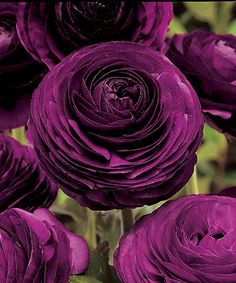 Look at this Purple Persian Buttercup Bulb - Set of 40 on #zulily today!