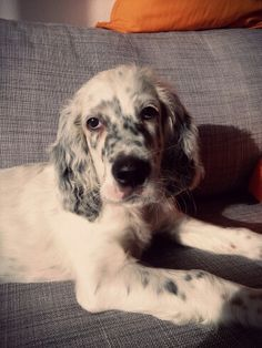 Trend, already 10 weeks old! English setter puppy.
