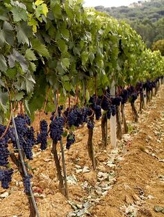 Grape-Harvest-Douro Grape Tree, Grape Vines, Backyard Vineyard, Grafting Plants, Grape Trellis, Farm Layout, Wine Vineyards, Harvest Season, Vegetable Garden Design