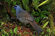Kokako, a New Zealand native bird by Rod Morris Photography. Love Birds, Beautiful Birds, Kiwiana, New Zealand, Nativity, Wildlife, Bb, Photography, Animals