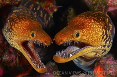 *Twins*. - moray eels                                                 **Fifth Prize**: Luis Miguel Cortes Lozano.