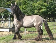 The Poitevin horse, a French breed of draft horse.