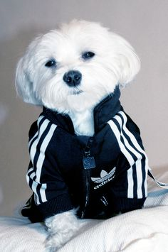 ADIDAS: All Day I Dream About… Dressing Up My Dog In People Clothes? Something along those lines. Adidas doesn't have a line of track suits for dogs but that didn't stop Artist Luxirare, who modified a tracksuit made for a human baby to fit her dog Rocky. The result is a must-see!!