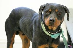 NAME: Morris  ANIMAL ID: 24666895  BREED: Rotti  SEX: male  EST. AGE: 3 yr  Est Weight: 65 lbs  Health: heartworm neg  Temperament: dog friendly, people friendly  ADDITIONAL INFO: RESCUE PULL FEE: $49  Available: 1/4