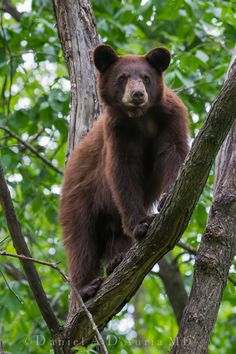 Beauty in the Tree 4085 Bear Cubs, Bears, Black Bear Cub, Cute Wild Animals, Bear Pictures, Safe Haven, In The Tree, Brown Bear