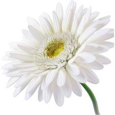 All Flowers, My Flower, White Flowers, Flower Art, Flower Power, Daisy Flowers, Beautiful Flowers, Daisies, Sunflowers