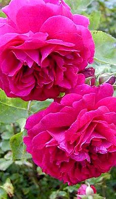 The Most Fragrant Roses - Looking for perfumed garden?  Put these roses on your list, says award-winning rose breeder, Sean McCann.