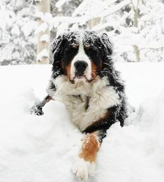 Berners LOVE snow! More #BerneseMountainDog