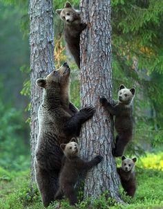 Grizzly bears: Mom always recognizes his two children. Fort Nelson, British Columbia. Canada | Ведмеді гризлі: своїх двох дітей мама завжди впізнає. Форт-Нельсон, Британська Колумбія. Канада