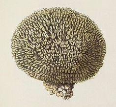 Millepora polymorpha (detail), via Flickr.