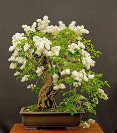 Bonsai blanco de la lila