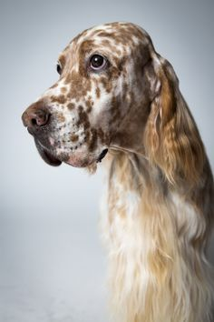 Dazzle, an English setter.+++++