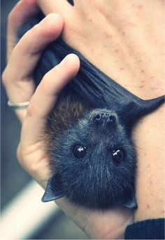 I don't know why, but I really love bats. Maybe they aren't the cuddliest, but they are pretty cute.