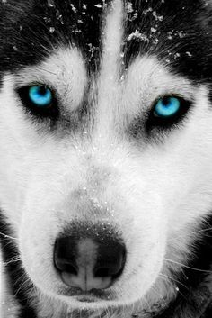 "Excellent ""Siberian Husky dogs"" info is readily available on our website. Check it out and you will not be sorry you did. Wolf Husky, Siberian Husky Dog, Beautiful Dogs, Animals Beautiful, Cute Animals, Animals Dog, Beautiful Pictures, Cute Husky, Husky Puppy"