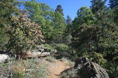 Pines and manzanitas near Cahuilla Mountain's summit, east of Temecula