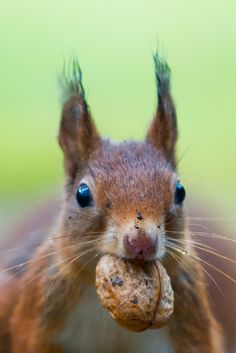 Your Garden Needs More Than Plants. It Needs Wildlife. Free Funny Pictures, Funny Animal Pictures, Funny Animals, Wild Animals, Squirrel Appreciation Day, Vida Animal, Squirrel Pictures, Outdoor Activities For Kids, Red Squirrel