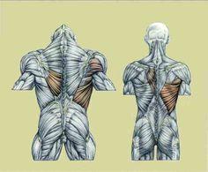 Risultati immagini per muscles delavier