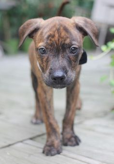 Plott Hound puppy. Plott hounds are the official state dog of North Carolina.