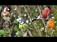 * Beautiful Birds Chirping and Singing in The Hedge - Goldfinch, Bullfinch, Robin and More - YouTube