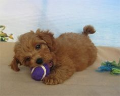 ERAS Idoodle puppies (brown toy poodle & white silk dog)