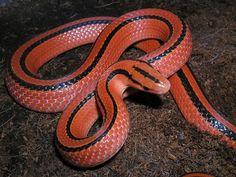Rắn sọc đốm đỏ (Oreocryptophis porphyraceus) là một loài rắn có ngoại hình quyến rũ với toàn thân đỏ rực kèm theo hai sọc đen chạy dọc cơ thể.