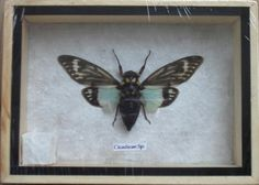 Real CICADICAE SP CICADA Insect Taxidermy by THAICRAFT4YOUDOTCOM, $14.00