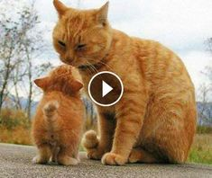 Video Mother Cat and Cute Kittens - Best Family Cats Comilation 2019 Hawaii In December, Mother Cat, Festivals Around The World, Funny Cats And Dogs, Kittens, Kitty Cats, Science And Nature, Cat Breeds, Republic Of The Congo