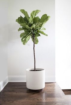 Find out how to grow and care for fiddle leaf fig. Learn about the right growing requirements and fiddle leaf fig care in this article. Plants Indoor, Indoor Plant Decor, Indoor Garden, Fiddle Fig, Fiddle Leaf Fig Tree, Tree Interior, Interior Plants, Green Apartment, Apartment Design