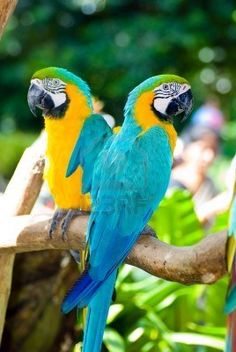 Blue and Gold Macaws indigenous to  Southern Mexico, Guatemala, Panama, etc.