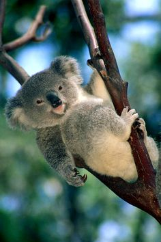 Koala baby……PUT THAT CUTE LITTLE TONGUE BACK IN……YOUR MOMMA TOLD YOU TO STOP MAKING THIS FACE AT STRANGERS………ccp