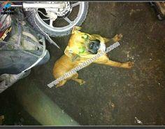 15 aylık dişi boxer ücretsiz olarak verilecektir. İşyerimin bahçesinde baktığım için Zeyna maalesef başka bir köpekle çiftleşti ve melez yavruları oldu. Çok yoğun çalıştığım için onunla yeteri kadar ilgilenemiyorum.... http://www.kopekdunyasi.com/zeyna-yeni-yuvasini-ariyor-15-aylik-disi-boxer.html