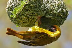 Learn why birds build nests, about the different nest types and examples of which birds build which particular styles.