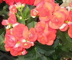 Begonia   Elatior-Begonie ( Begonia × hiemalis ).
