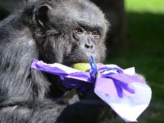 A chimpanzee opens a wrapped mango on Easter at the zoo in La Fleche, western France, on April 5.  Jean-Francois Monier, AFP/Getty Images