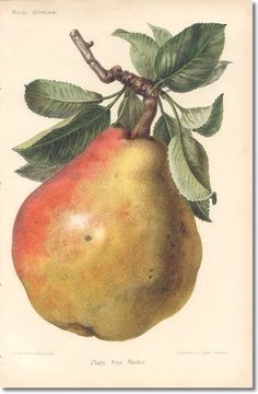 Revue Horticol - Botanical Prints - Illustrated Book Plate Illustration from Revue Horticole - Botanical Print - 13 - PEAR FRUIT Archival Fine Art Paper Print Watercolor Fruit, Fruit Painting, China Painting, Paintings Of Fruit, Science Illustration, Nature Illustration, Botanical Illustration, Vintage Botanical Prints, Botanical Drawings