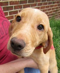 Honey is an adoptable Yellow Labrador Retriever Dog in Sagaponack, NY ...