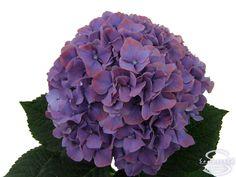 """Cut hydrangea flower """"Glowing Alps Deep Purple"""" (Purple)"""