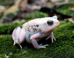 Bufo americanus, American Toad (leucistic, piebald), Georgia by Brad Wilson, DVM, via Flickr - ( * Pinners guess is leucistic and not piebald)