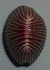 Trivia (Niveria) sanguinea 11,2mm Incredible Quality Rare shell seashell Cypraeawww.ebay.com
