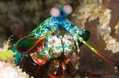 peacock mantis shrimp.. i have wanted one forever!!