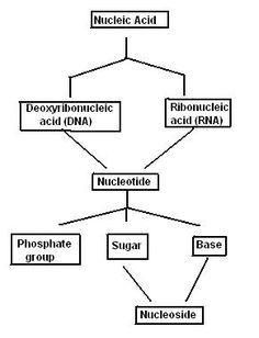 nucleic acids- the function of nucleic acid is dna and rna