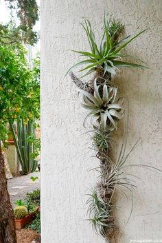 Creating An Air Plant Display On Cholla Wood. I collect Cholla wood on my desert walks. It's great to use when creating w/ air plants. Here's a DIY for an air plant & cholla wood display Air Plant Terrarium, Garden Terrarium, Moss Garden, Succulent Planters, Succulents Garden, Cactus Plants, Hanging Air Plants, Indoor Plants, Indoor Herbs