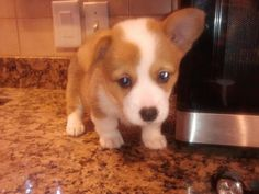Comes home with us next week! Baby Zoo Animals, Corgis, Next Week, Trending Memes, Funny Jokes, Addiction, Cute, Style, Swag