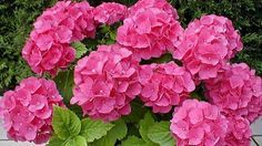 Million Flowers in Pink Beautiful Flowers, Hydrangea, Horticulture, Flowers, Pretty Flowers, Trees To Plant, Nature Garden, Flower Lover, Plants