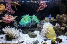 Everything you should know about the Sea Anemone. The Sea Anemone is a color sea creatures that adheres to a surface and attracts prey to it. Saltwater Aquarium Setup, Aquarium Sand, Marine Aquarium, Saltwater Tank, Marine Fish, Animals Images, Animal Pictures, Aquarium Pictures, Aquarium Backgrounds
