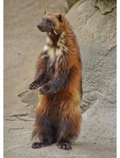 Wolverine standing tall to get a better look. Animals And Pets, Cute Animals, Different Types Of Animals, Unusual Animals, Wolverines, Muted Colors, Woodland Animals, Life Is Beautiful, Pet Birds